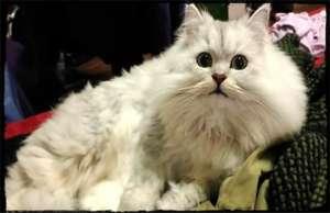猫砂使用特点 注意事项要知道